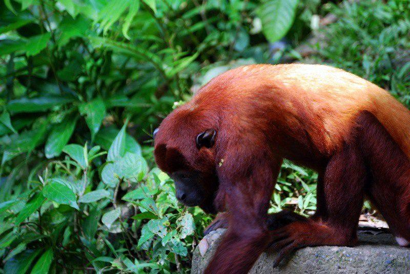 A monkey at an Amazon River animal rescue program in Ecuador.