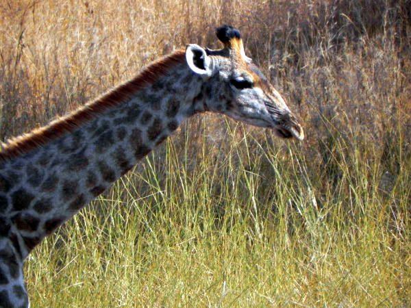 A giraffe in Kruger National Park, South Africa.