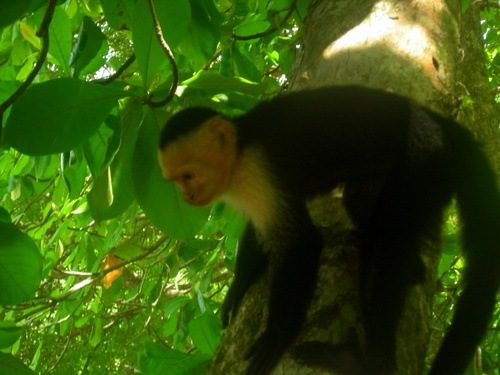 """A Capuchin Monkey in Costa Rica (""""My Name Is Not Marcel"""")."""