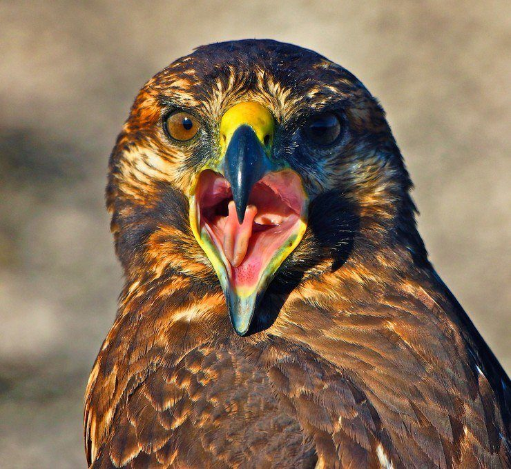 The wide mouth of a Galapagos hawk.