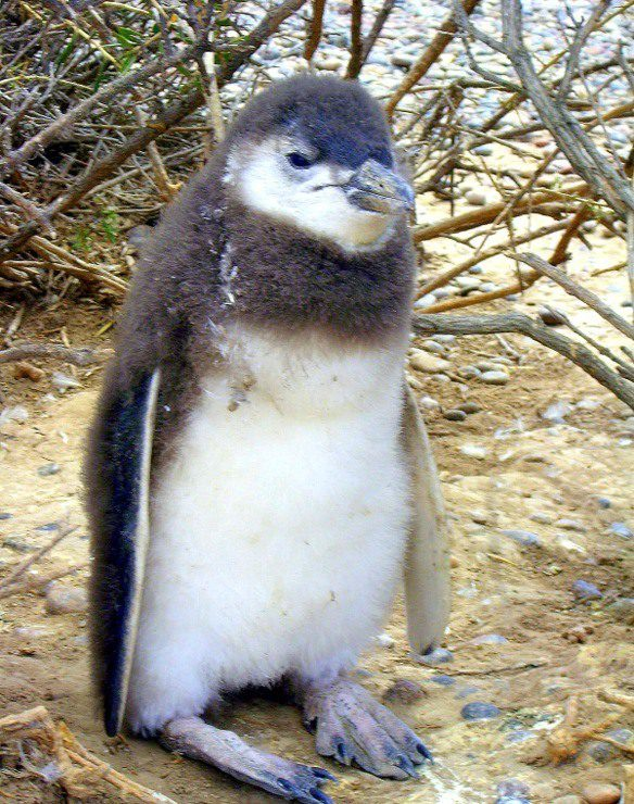 A baby penguin in Patagonia, Argentina. So cute!