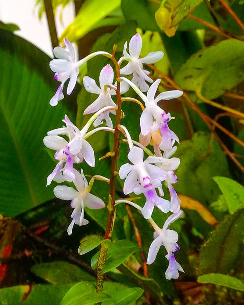 Delicate white flowers, tinged with purple.
