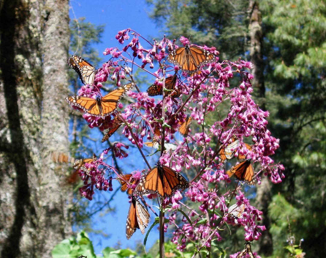 Monarch butterflies in the flowers.