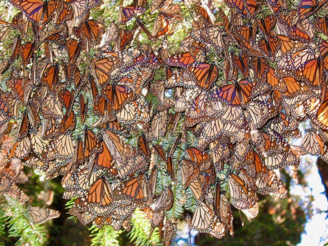 A wall of monarch butterflies.